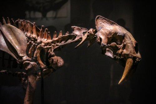 Fósseis do dente-de-sabre