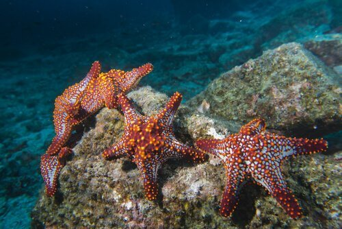 As características da estrela-do-mar