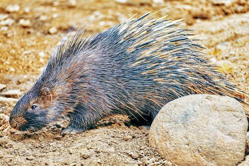 espécies de roedores