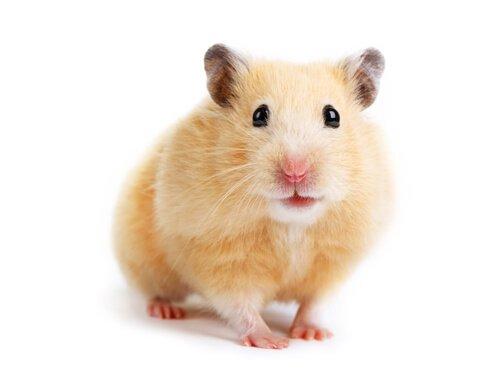 O que provoca estresse em hamsters?