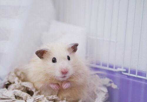 Hamster estressado