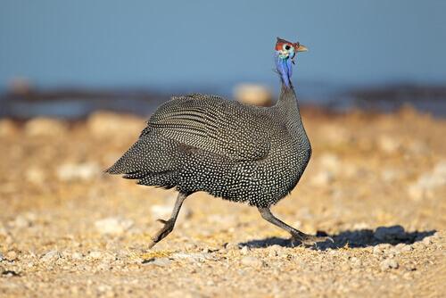 fauna da África do Sul: galinha d'angola