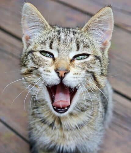 gato rouco
