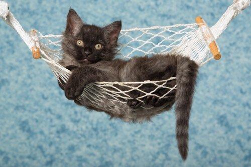 filhote de gato LaPerm deitado numa rede