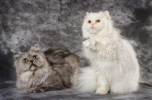 pelos do gato angorá