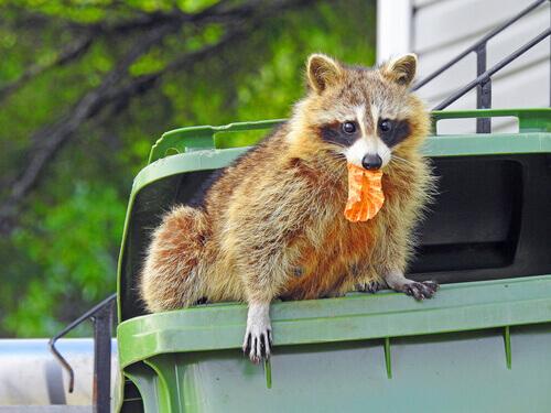 Guaxinim roubando comida de lixeira