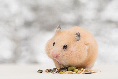hamster comendo grãos
