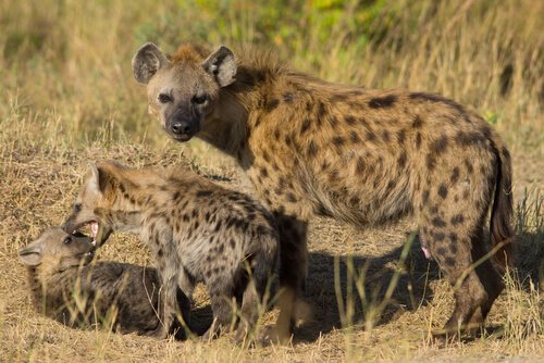 hiena com filhotes