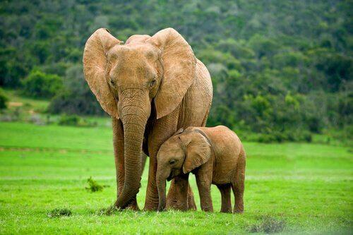 Elefante e filhote