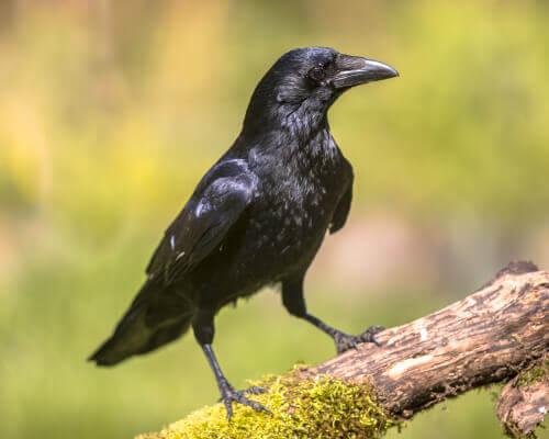 A inteligência dos corvos