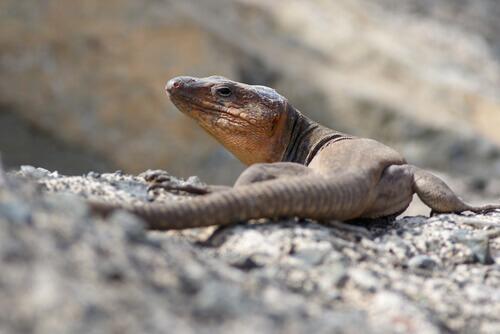 lagarto Ilhas Canárias