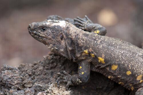 animais vivem nas Ilhas Canárias: lagarto gigante de El Hierro