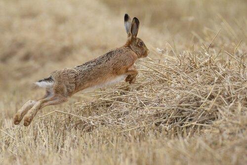 Diferenças entre lebres e coelhos