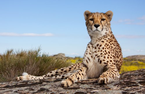 5 espécies de grandes felinos