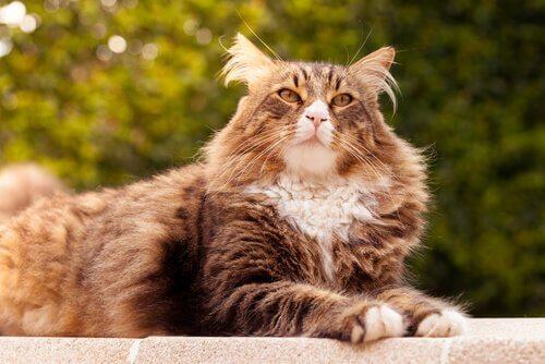 As 5 maiores raças de gatos
