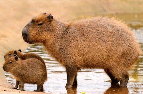 As 5 maiores espécies de roedores da natureza