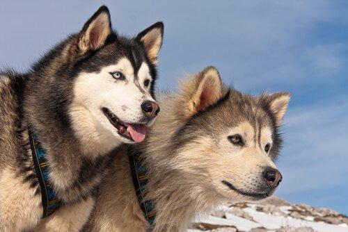Diferenças entre o Malamute do Alasca e o Husky Siberiano