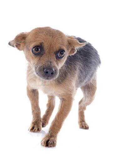 Medo de tempestades dos cães: como lidar?