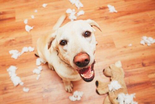 Cachorro após destruir boneco de pelúcia