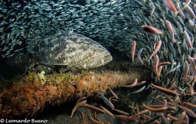 Campanha busca preservar os peixes meros