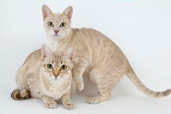 Mist australiano, um gatinho muito sociável e miador