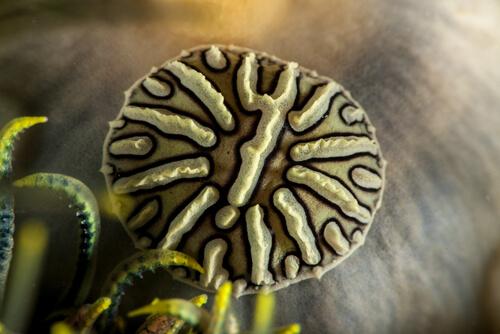 Myzostomidas anelídeos