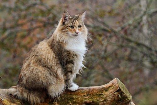 gato Norueguês da floresta