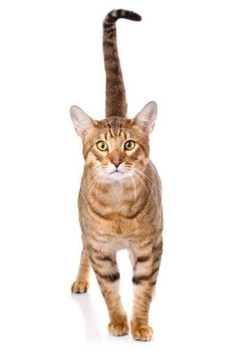 Gato Serengeti, um gatinho de aparência selvagem