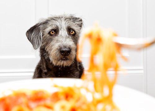 Cães podem comer massa?