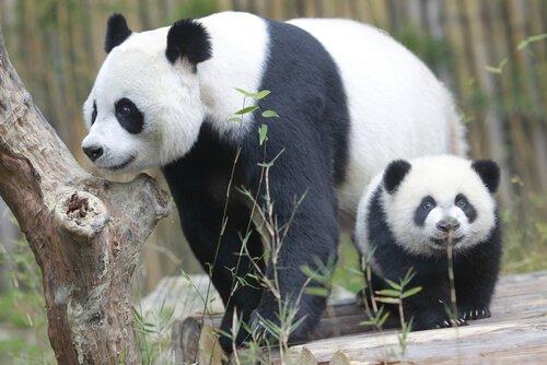 filhote de panda com sua mãe