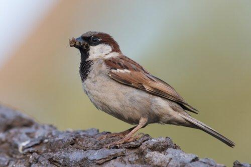 Quantas aves não migratórias existem?