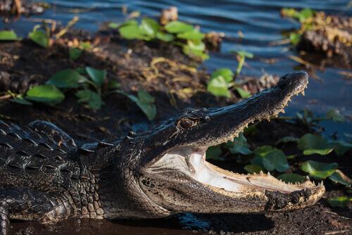Jacaré no Parque Nacional dos Everglades