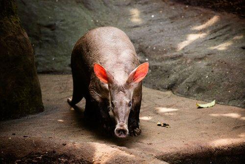 porco formigueiro