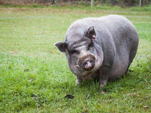 Como cuidar de um porco vietnamita