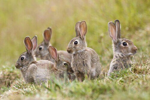 coelhos no campo