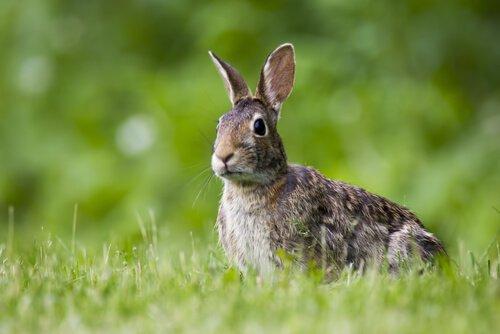 O que aconteceu com os coelhos na Austrália?