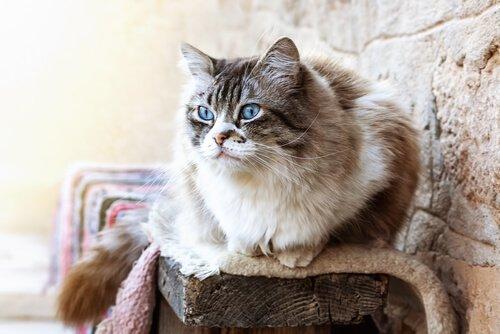 Ragdoll gato