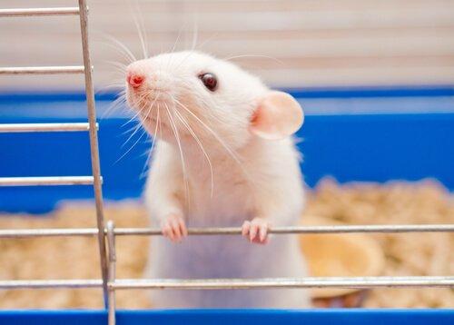 Rato doméstico como animal de estimação