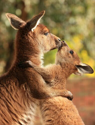 mamãe canguru com seu filhote