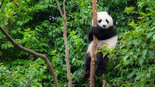 China planeja uma enorme reserva para o panda gigante