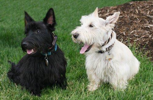 Terrier escocês preto e branco