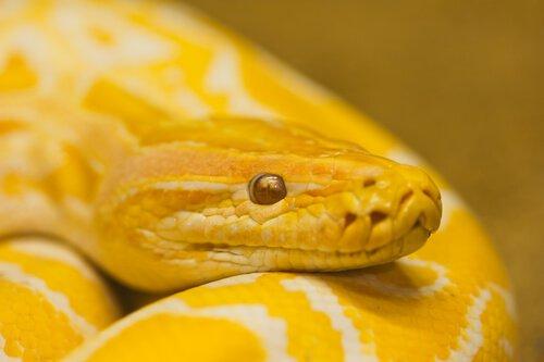 serpente amarela