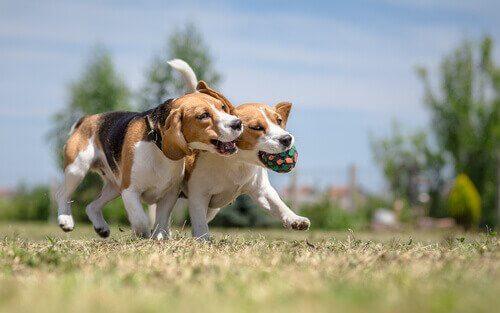 cães beagle brincando