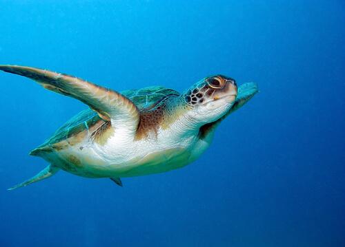 A incrível orientação da tartaruga cabeçuda