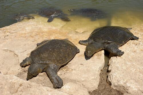 Tartaruga de carapaça mole