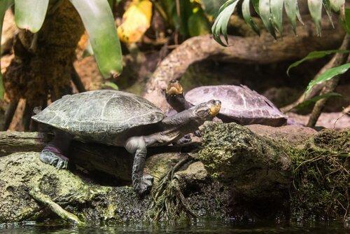 tartaruga gigante do rio Amazonas