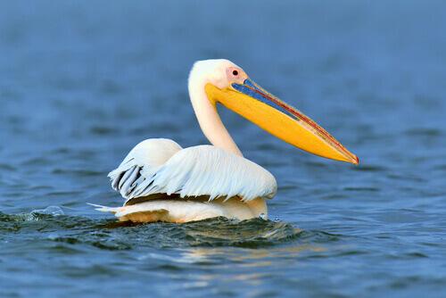 Pelicano: um dos animais sem dentes