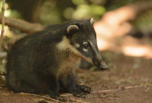 Texugo: características, habitat e comportamento