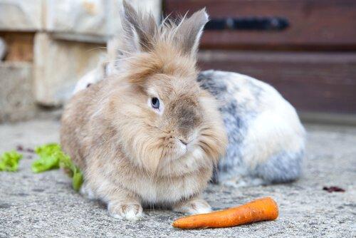 tipos de coelhos: o coelho cabeça de leão