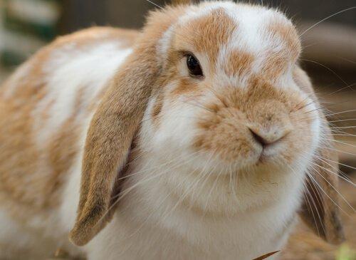 Quantos tipos de coelhos domésticos existem?